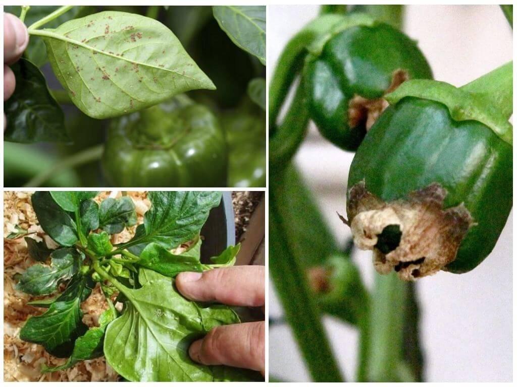Паутинный клещ на баклажанах, помидорах и перце - как бороться? фото вредителя и способы избавления. русский фермер