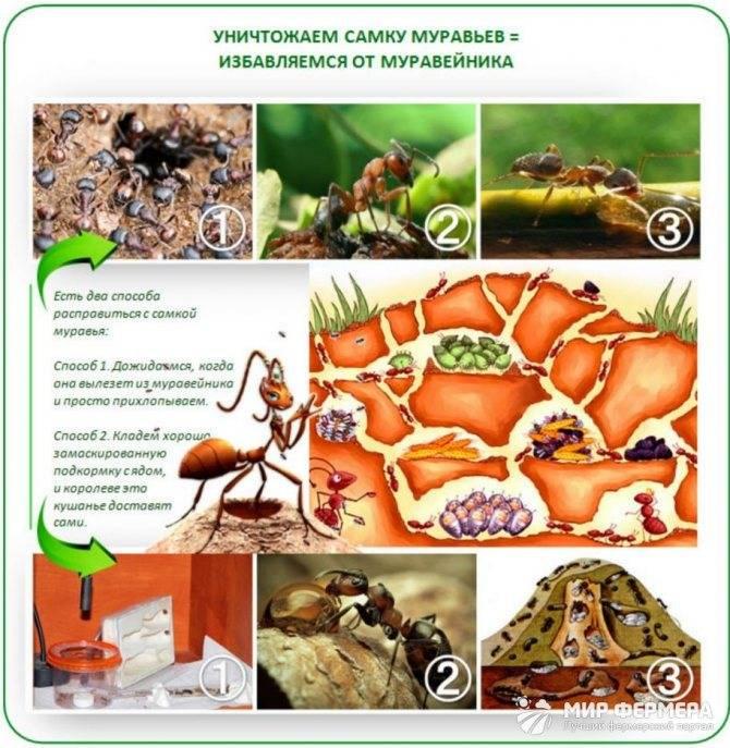 Как избавиться от муравьев на участке? в огороде, в саду, в теплице. народные средства
