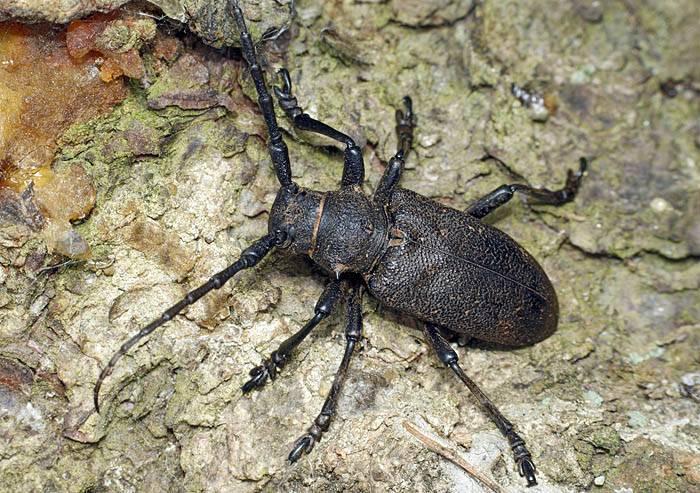 Как избавиться от жуков-усачей: какой вред они могут причинить, обзор 5 лучших инсектицидов, их плюсы и минусы, варианты применения народных средств, их эффективность