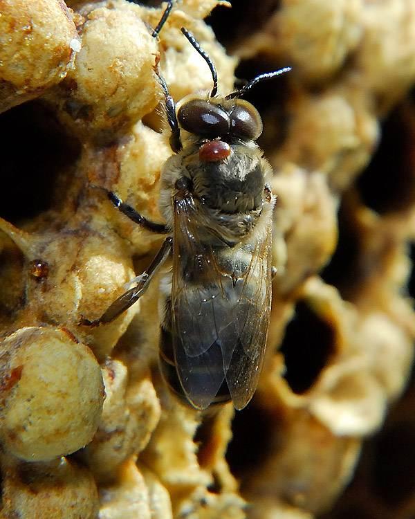 Борьба с клещем варроа по методу майкла буша — pasekoff.com - сообщество пчеловодов-профессионалов