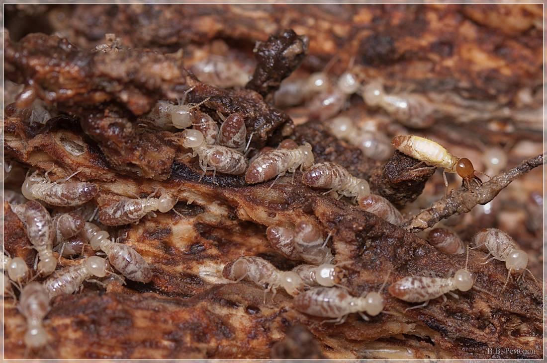Термиты - первые социальные насекомые. (krol_jumarevich)