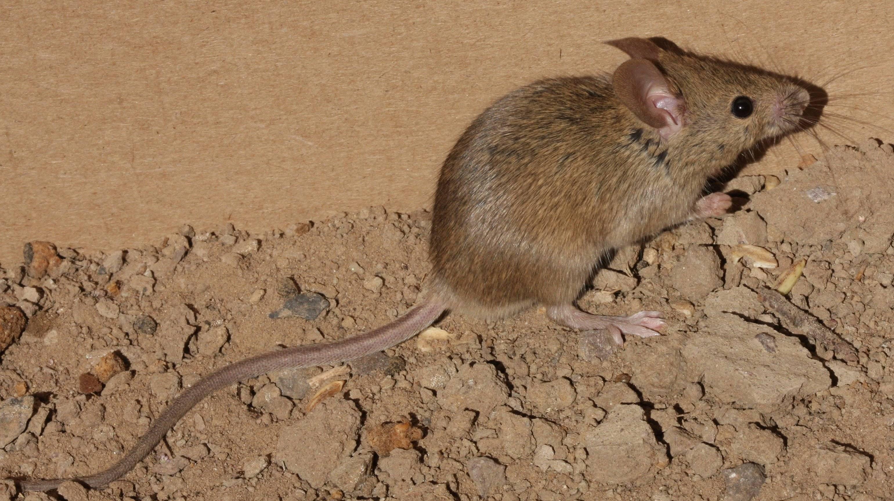 Домовые мыши: описание, виды и фото, способы борьбы