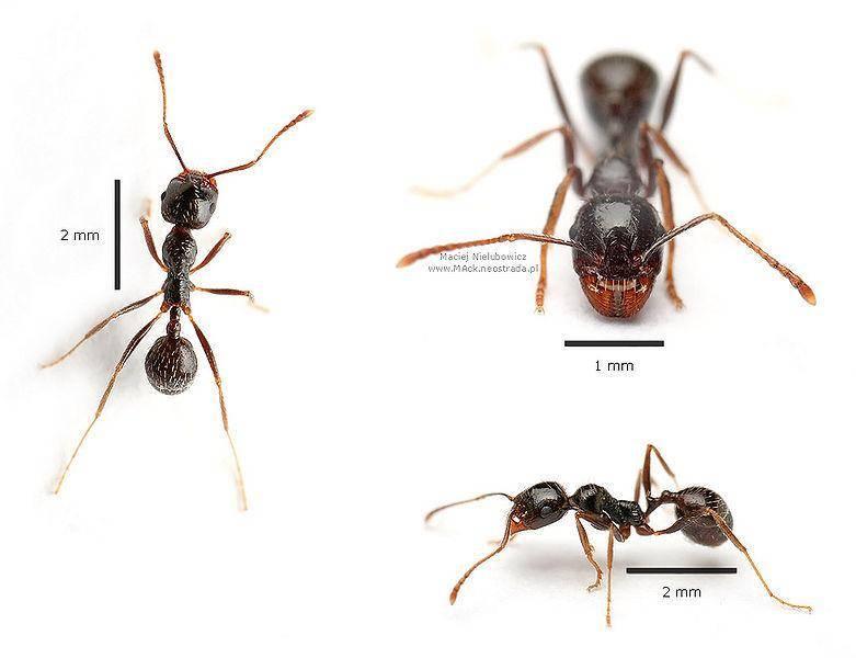 Самый большой муравей в мире: какие виды наиболее крупные, гигантские
