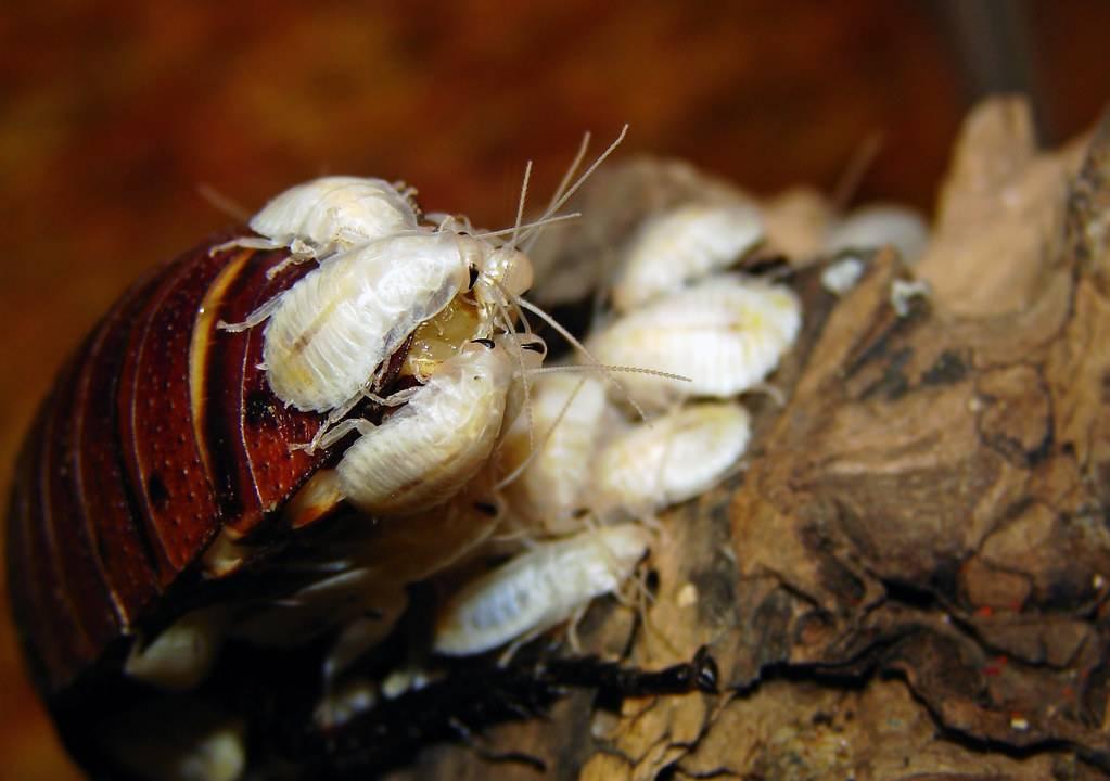 Белый таракан: почему приходит в квартиру и как с ним бороться