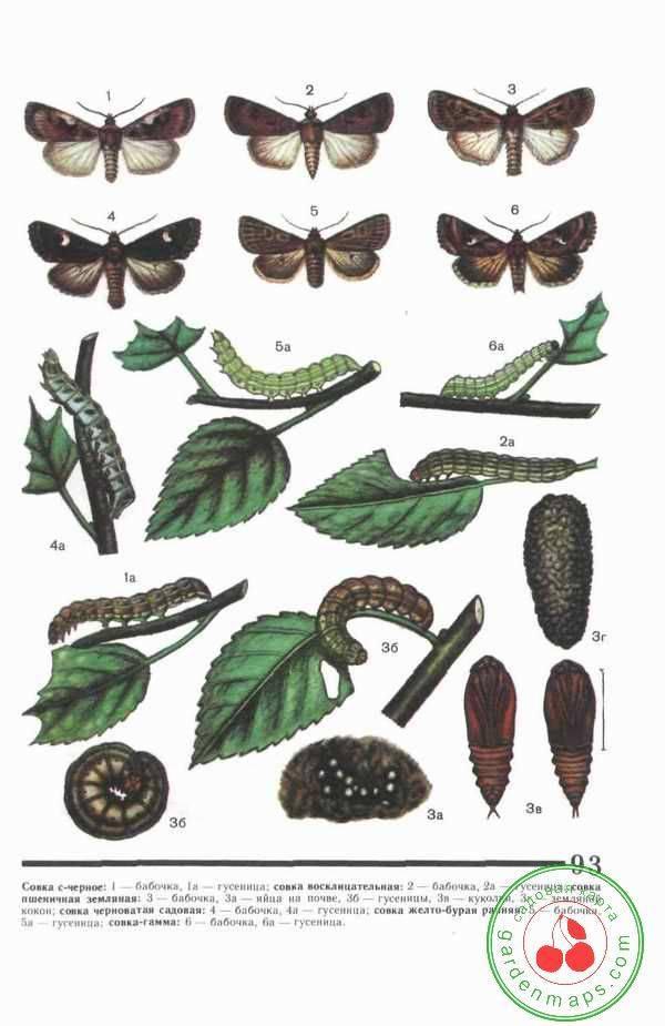 Совка-гамма: многоядные насекомые-паразиты. совка гамма (autographa gamma) морфология и биология