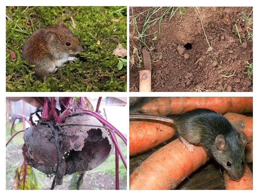 Как бороться с крысами на огороде: эффективные методы