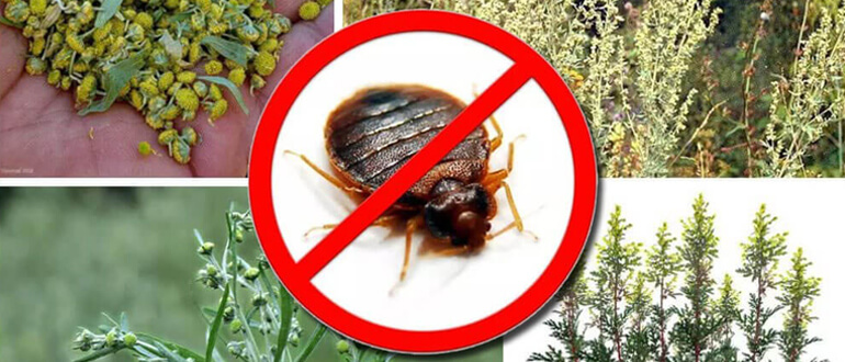 Помогает ли полынь от тараканов — 3 способа применения