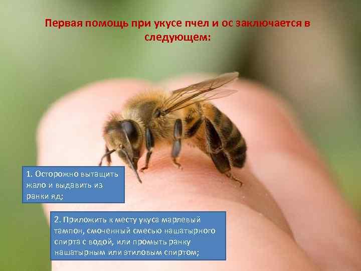 Как защититься от укуса пчелы и что делать, если пчела ужалила, как минимизировать последствия