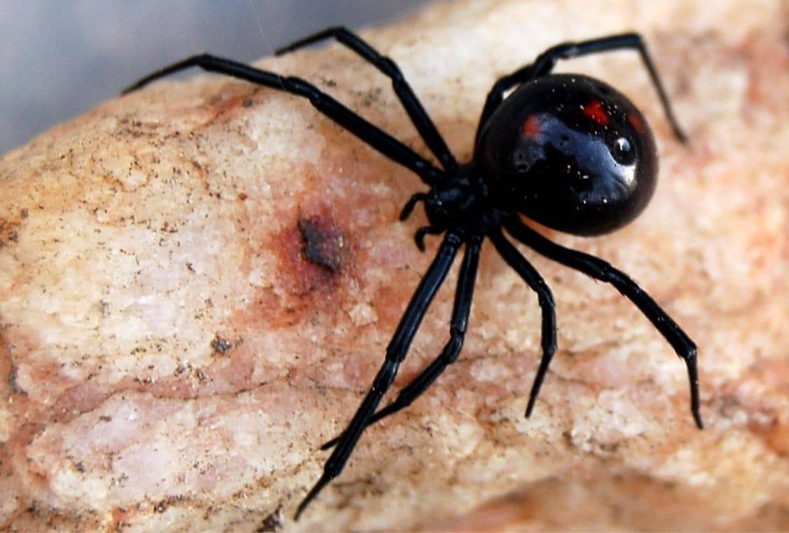 Черная вдова в домашних условиях: стоит ли заводить паука в квартире и к чему может привести укус