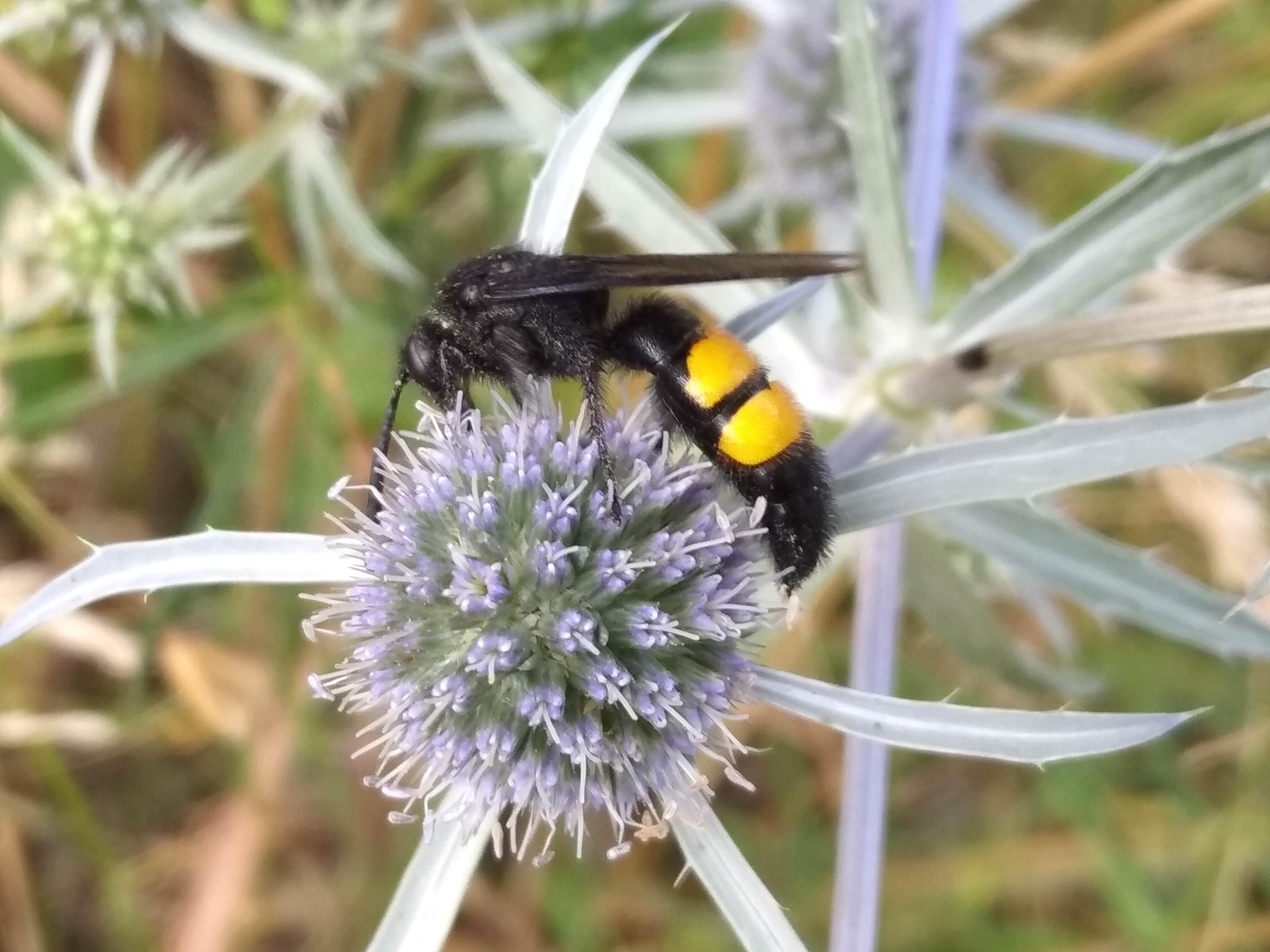 Большое насекомое похожее на осу
