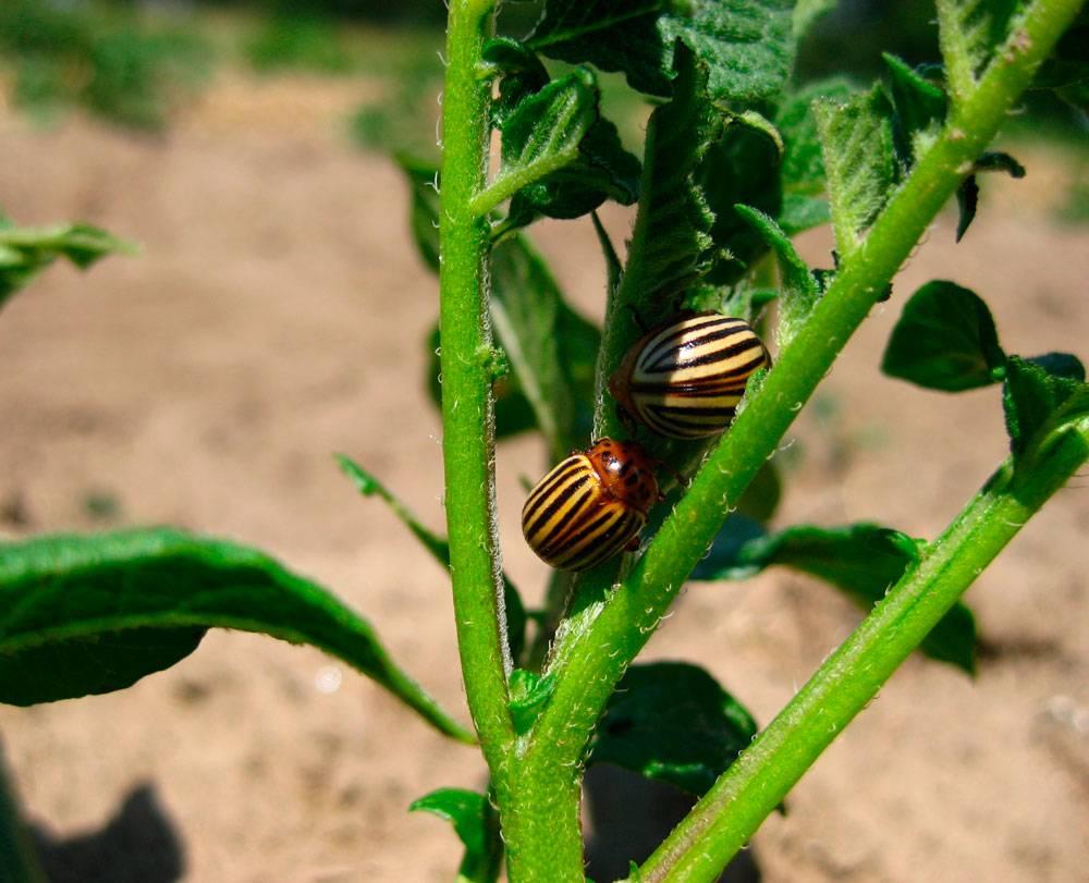 Колорадский жук: средство, борьба, народные и химические методы защищающие от вредителя | спутниковые технологии