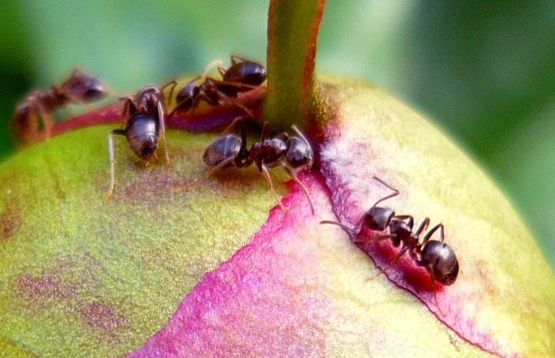 Садовые муравьи: описание, польза и вред
