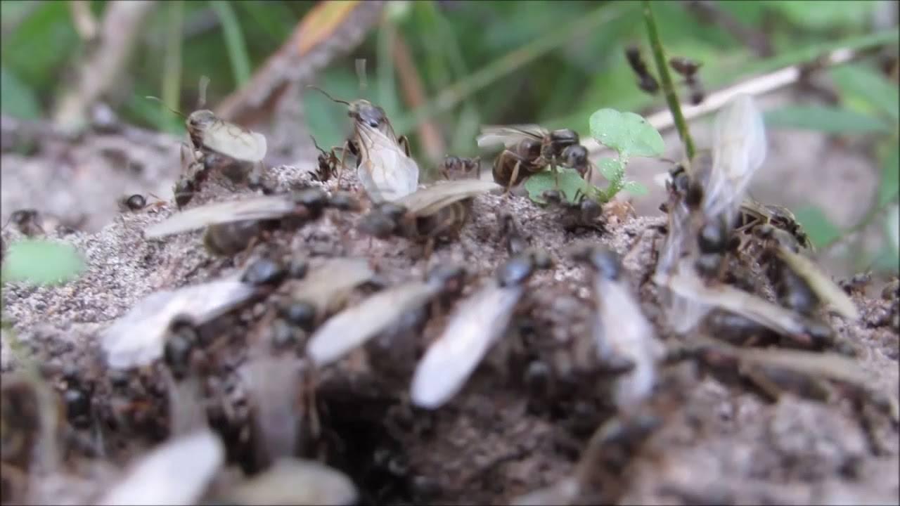 Как избавиться от летающих муравьев: эффективные способы