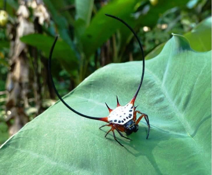 Рогатый паук, или шипастый паук-кругопряд. видовой состав пауков кругопрядов строение ловчей сети пауков кругопрядов