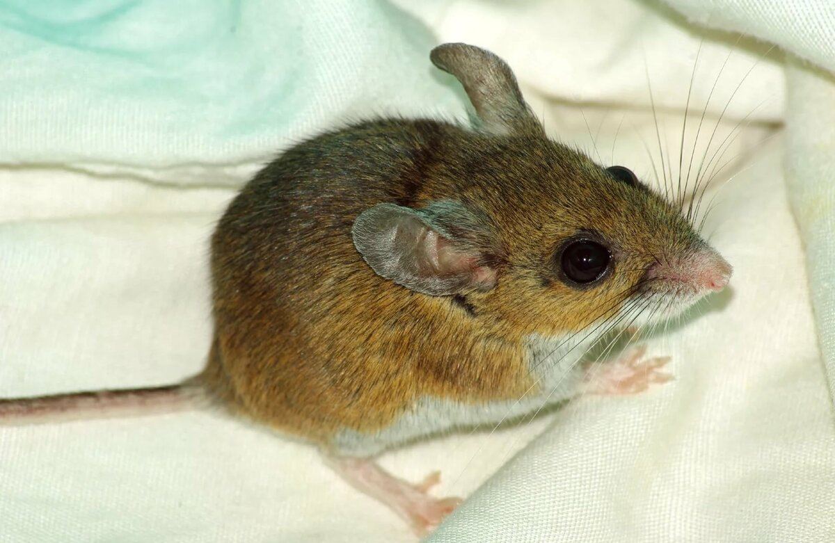 Мышь домовая и полевая: основные отличия с фото, места обитания, поведение и образ жизни