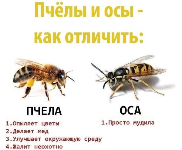 Отличия осы и шершня