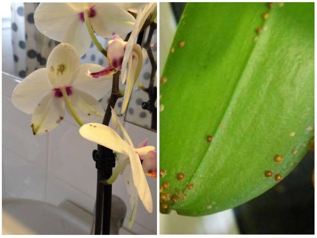 Как выглядит щитовка на орхидее: меры борьбы и профилактика