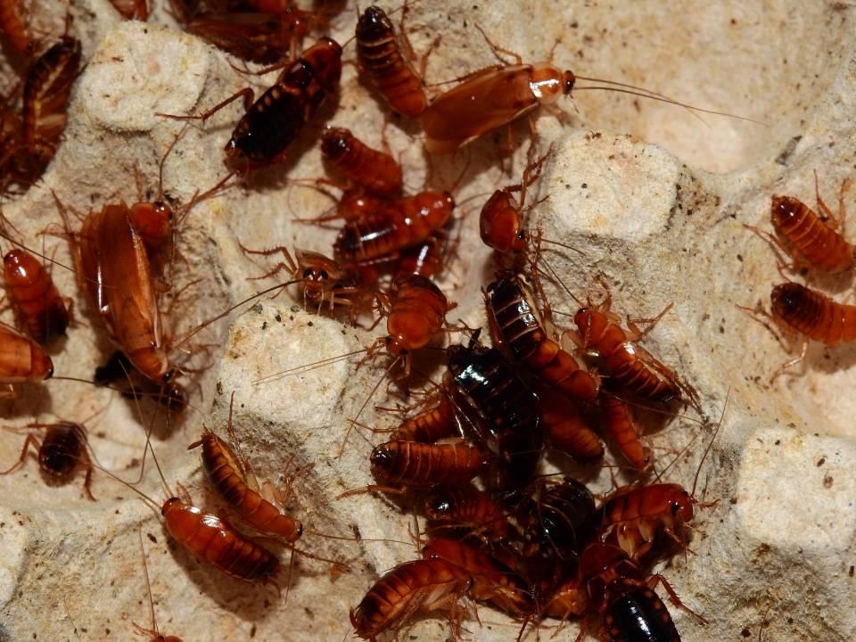 Мраморные тараканы: содержание, фото