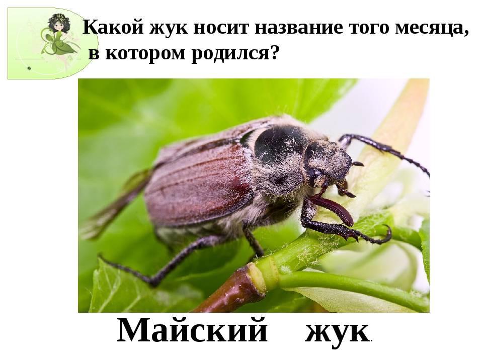 «сонник майский жук приснился, к чему снится во сне майский жук»
