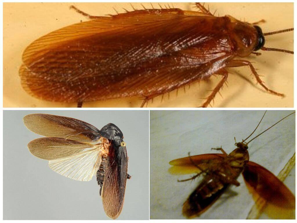 Летают ли тараканы: описание, виды, фото