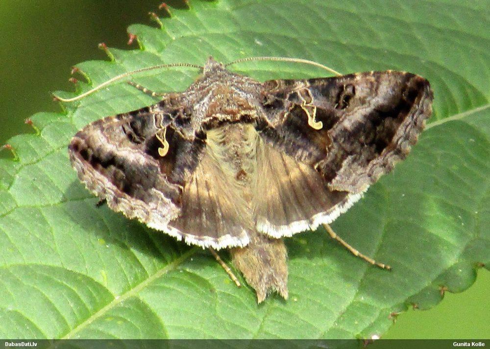 Совка - ночная бабочка вредитель культурных растений русский фермер