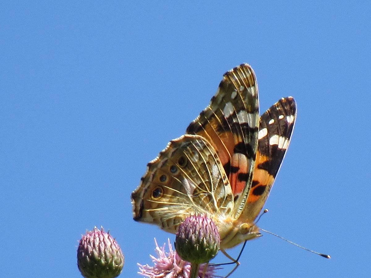 Описание бабочек, репейница, капустница, крапивница