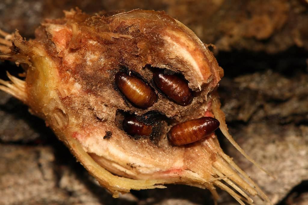 Эффективные меры борьбы с ростковой мухой