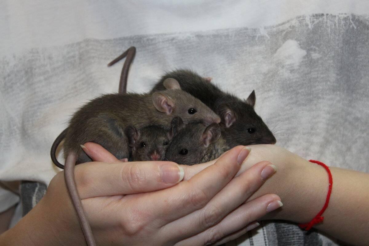 Сколько живут дикие крысы