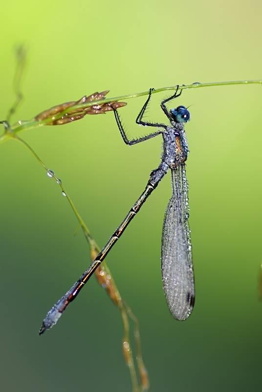 Стрекоза красотка-девушка – грациозная хищница
