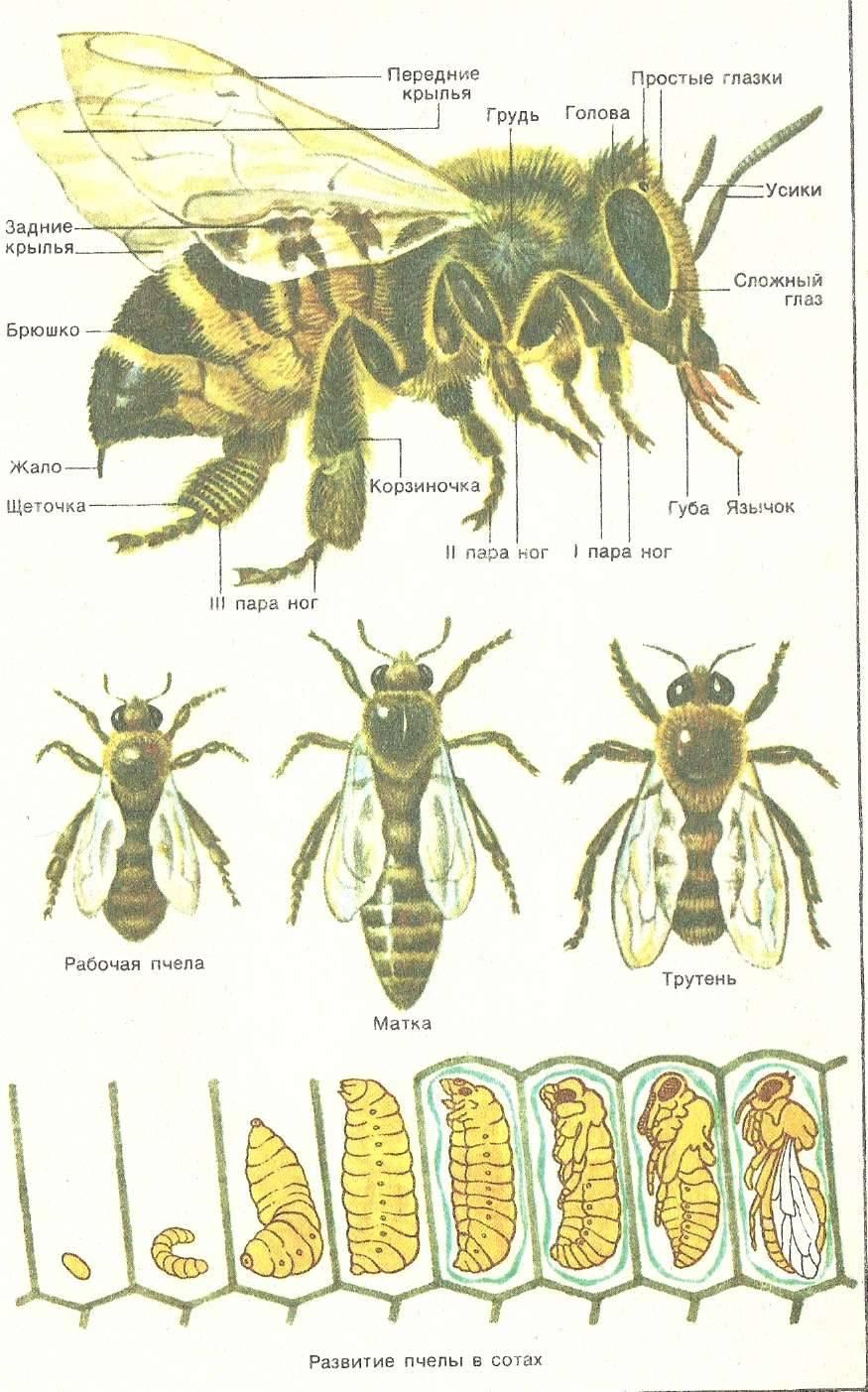 Развитие пчелиной семьи, этапы и природная зависимость   практическое пчеловодство