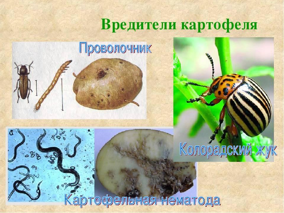 Вредители картофеля: описание и лечение, фото и видео, отзывы