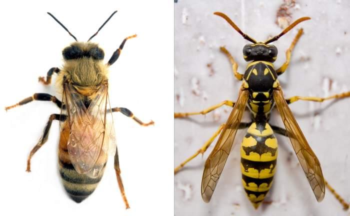 Разница между пчелой и шмелем