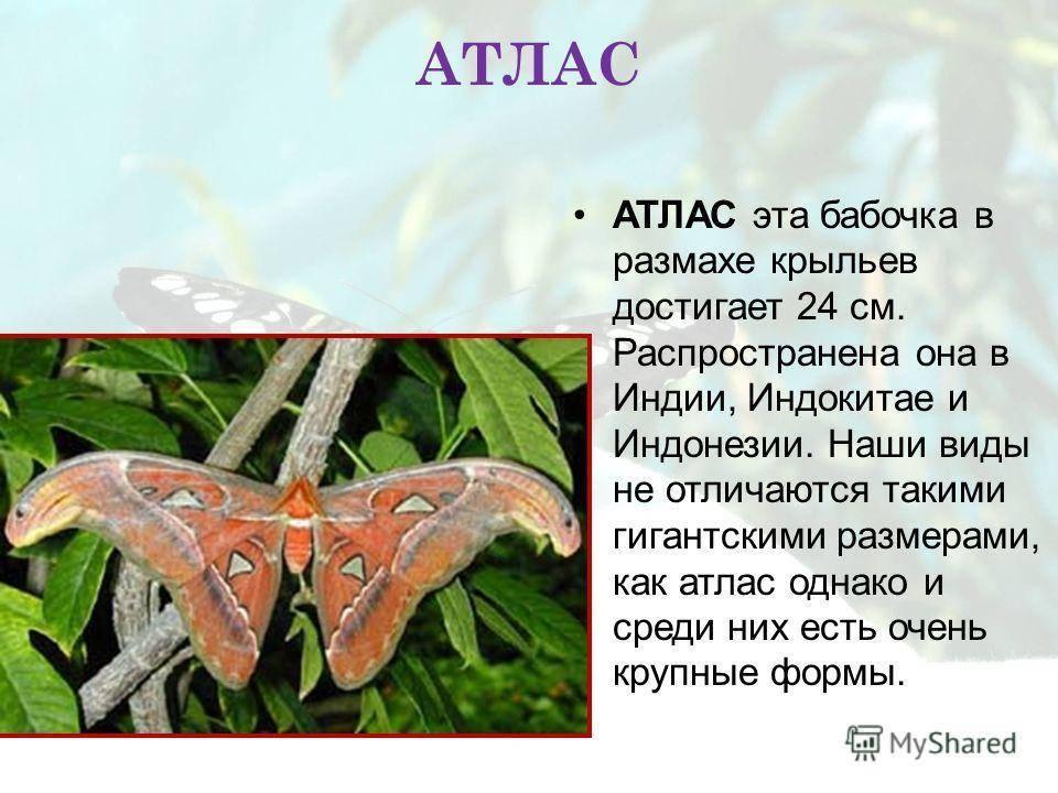 Бабочка мнемозина – насекомое из красной книги