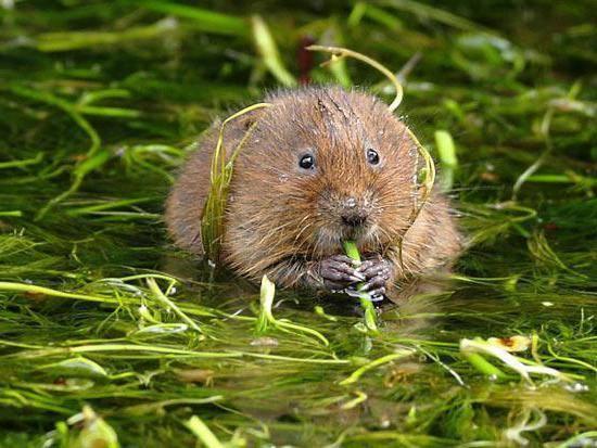 Речные крысы: название, фото с описанием, характеристика