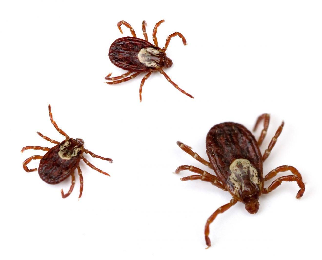 Собачий клещ (ixodes ricinus) – как выглядит, жизненный цикл, опасен ли для людей