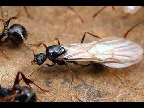 Как избавиться от летающих муравьев в доме