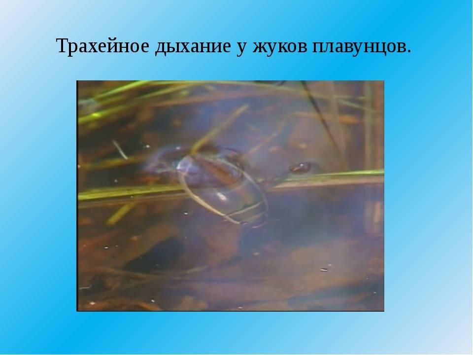 Жук-плавунец: фото, особенности питания и дыхательной системы