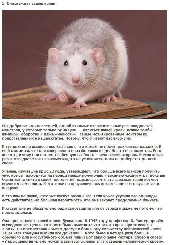Чем кормят домашних крыс: меню от а до я