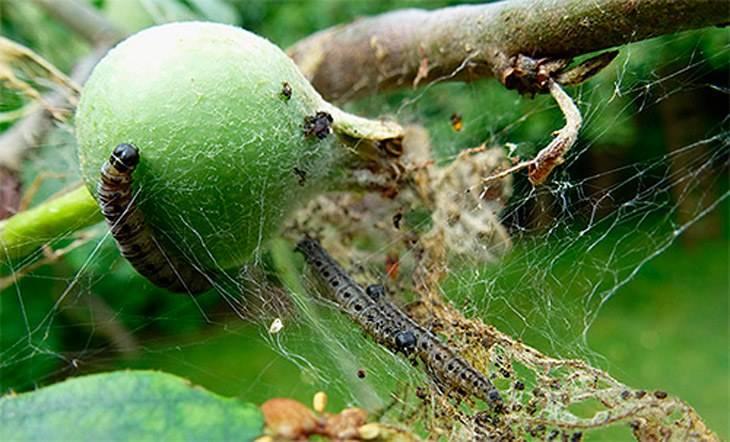 Как боротьcя с паутиной на яблонях и чем обработать их весной для профилактики