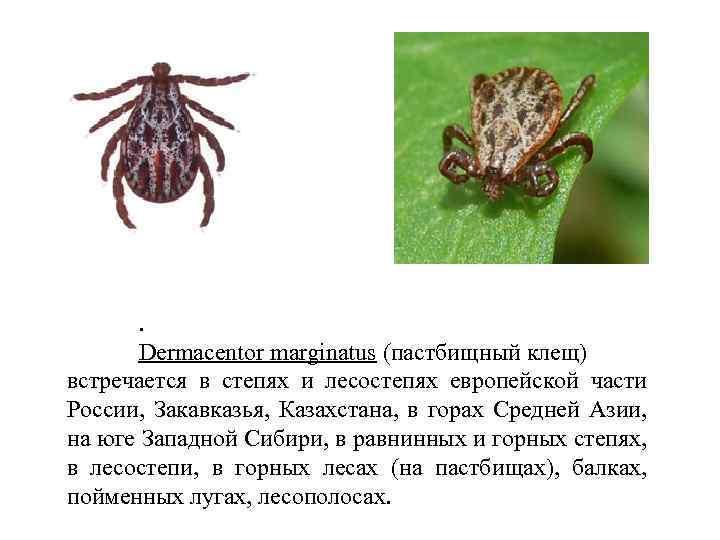 Клещ дермацентор (dermacentor): виды членистоногих, и как они выглядят, какие существуют меры борьбы с паразитами