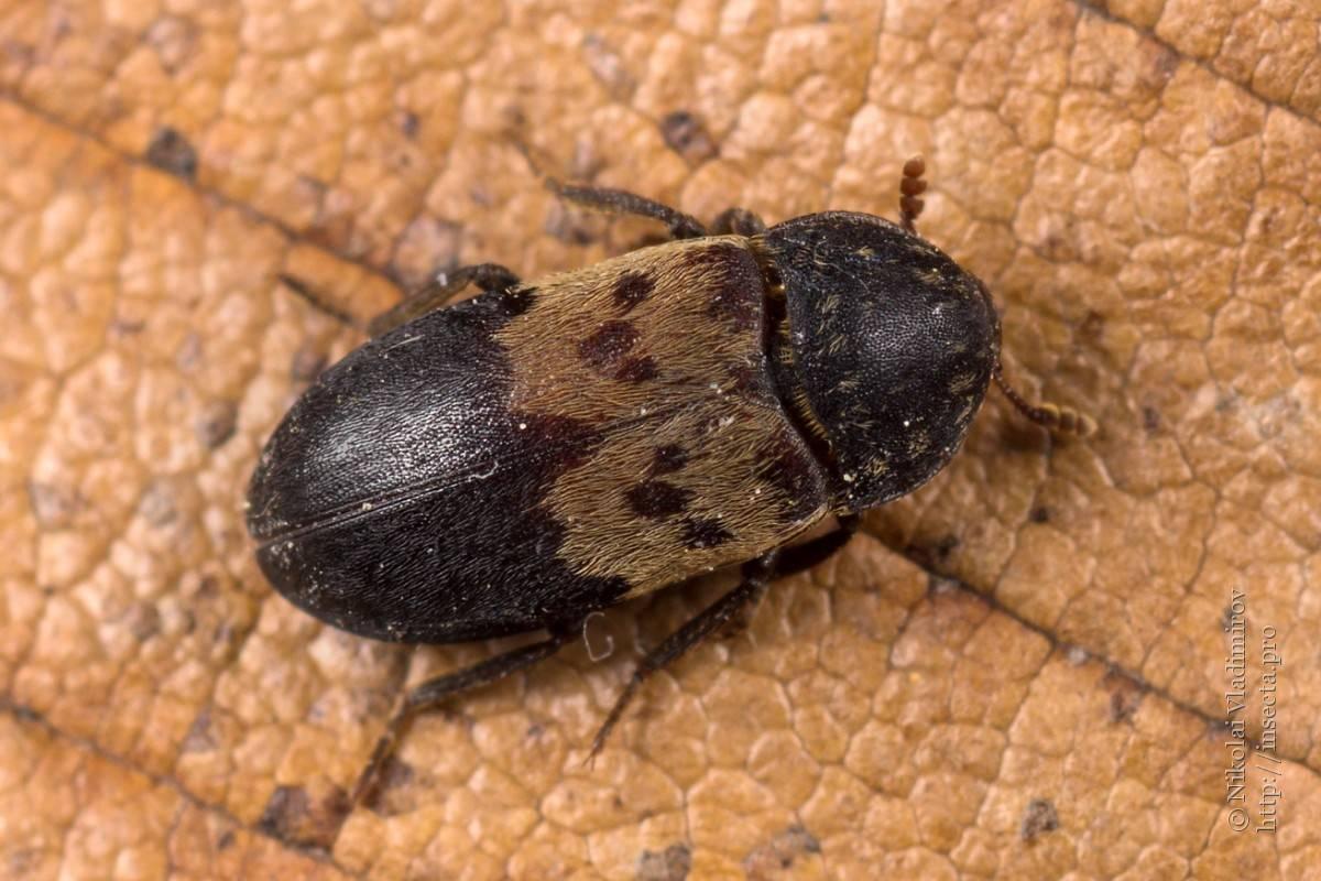 Как избавиться от жуков кожеедов и их личинок в квартире + фото
