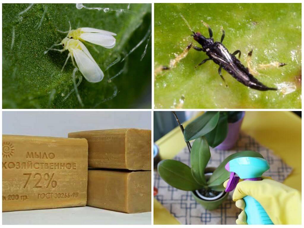 Мошки в орхидеях: как избавиться в домашних условиях и чем обработать