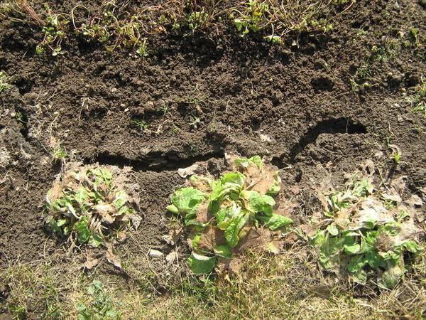 Водяная крыса на огороде: как бороться с вредителем, наносимый вред