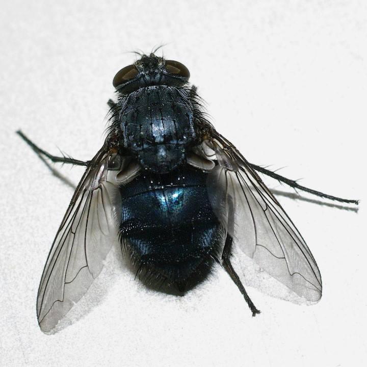 Лосиная муха: фото, описание, чем опасна