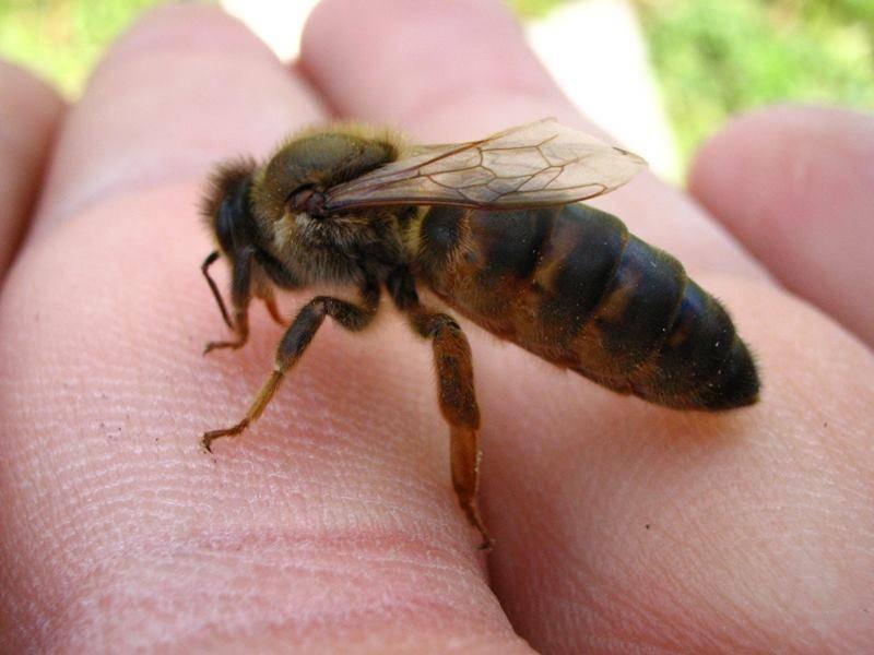 Карпатка и среднерусская породы пчел: недостатки и преимущества