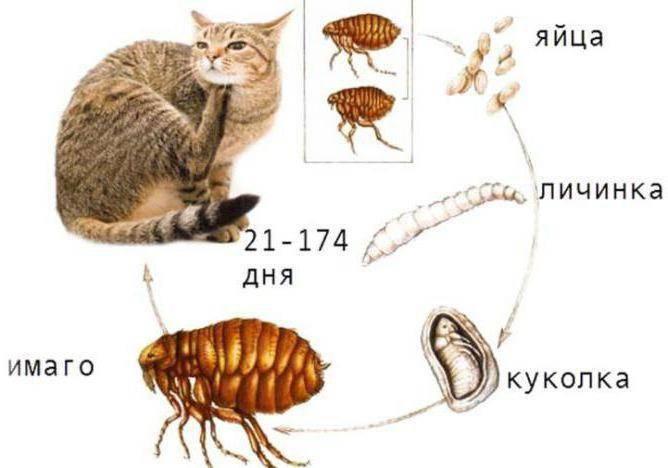 Блохи у животных: как выглядят, как избавиться в домашних условиях