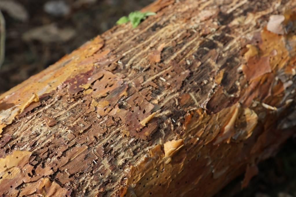 Чем опасны заболонники? способы борьбы с плодовым жуком-короедом