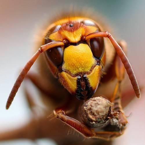 Как выглядят чёрные шершни и гигантские осы: характеристики и различия