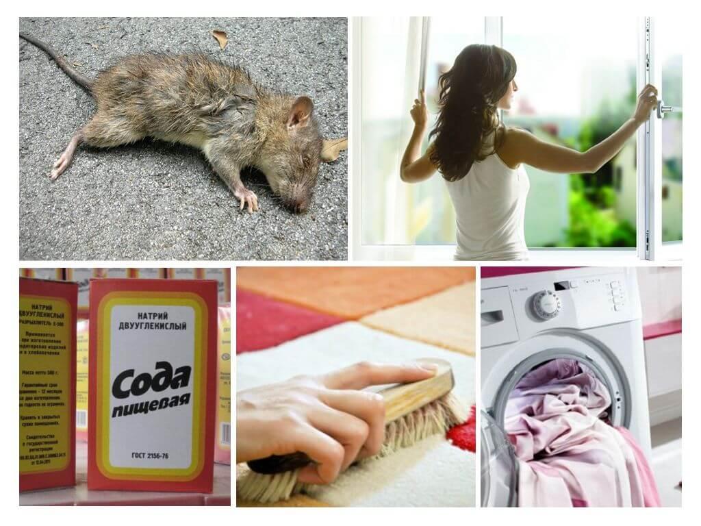 Чем убрать запах умершей крысы или мыши под полом или в стене - средства и способы