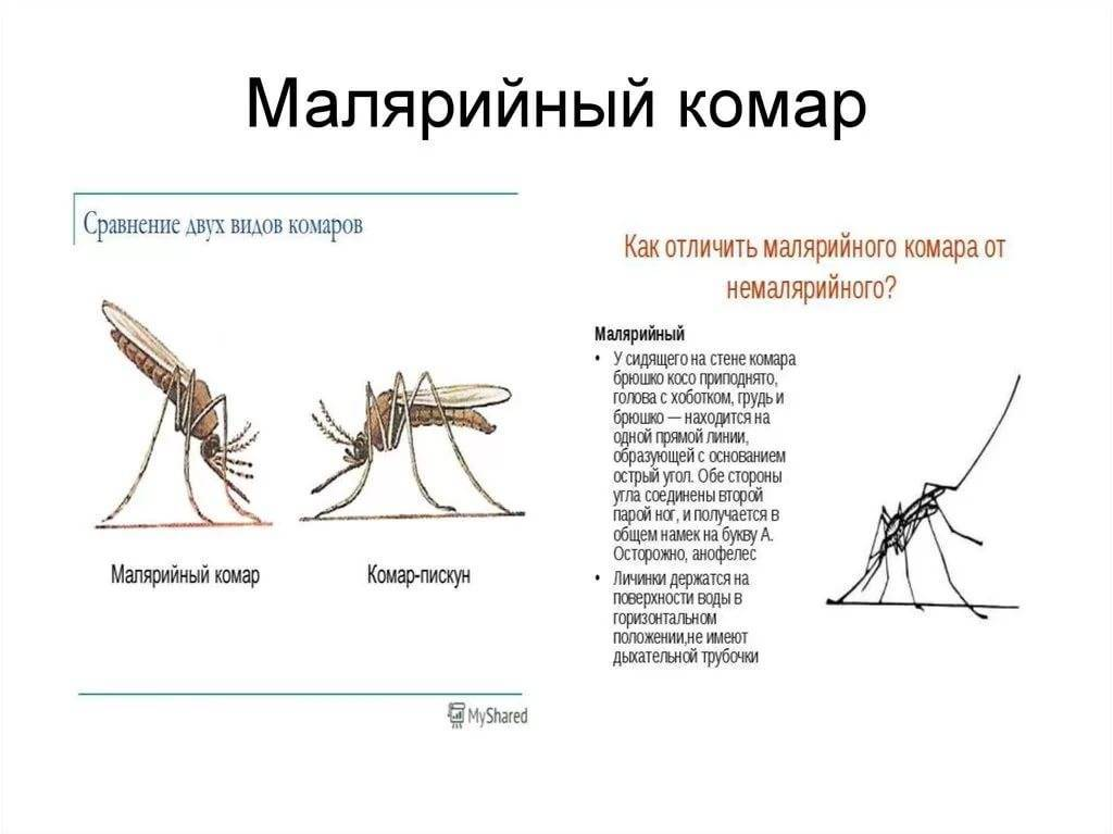 Комар пискун – разносчик болезней и нарушитель спокойствия